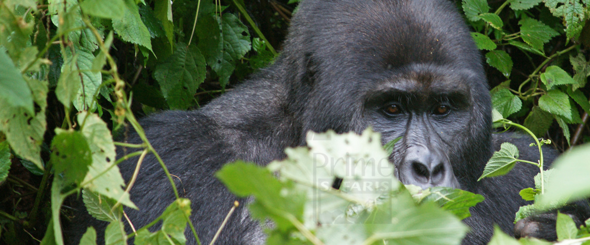 5 Day Gorilla Safari in Uganda