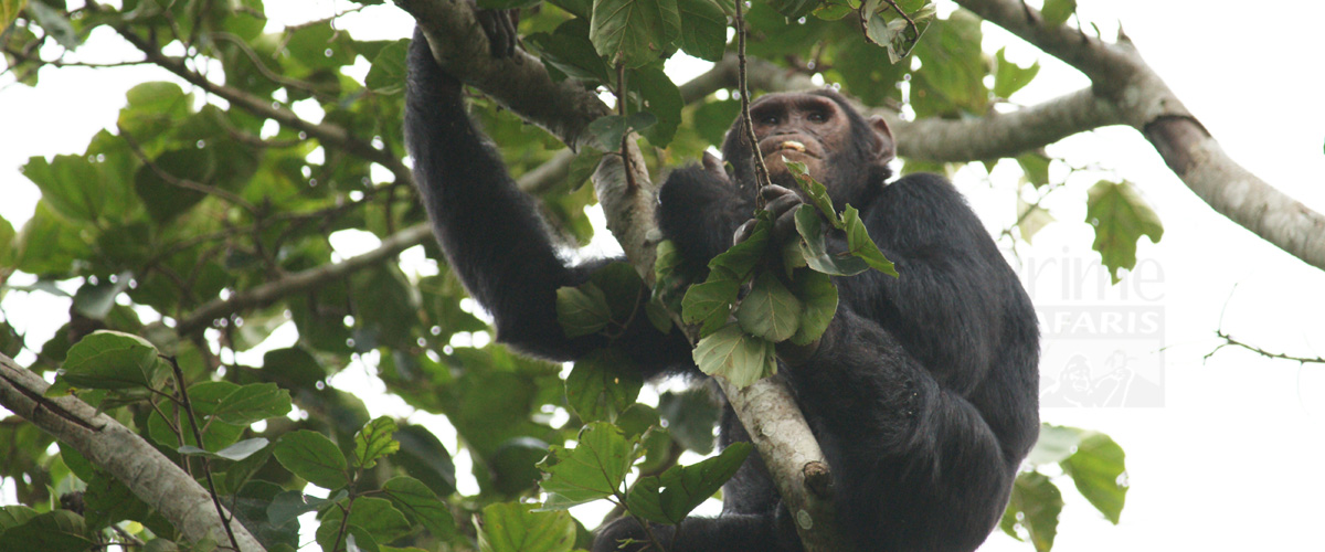Rwanda Gorilla and Chimps Safari tours