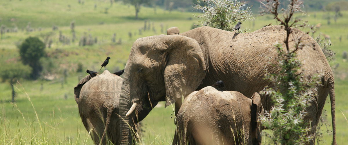12 Days Tanzania Safari Tour Big Five Uganda Gorilla, Chimpanzee & Safari