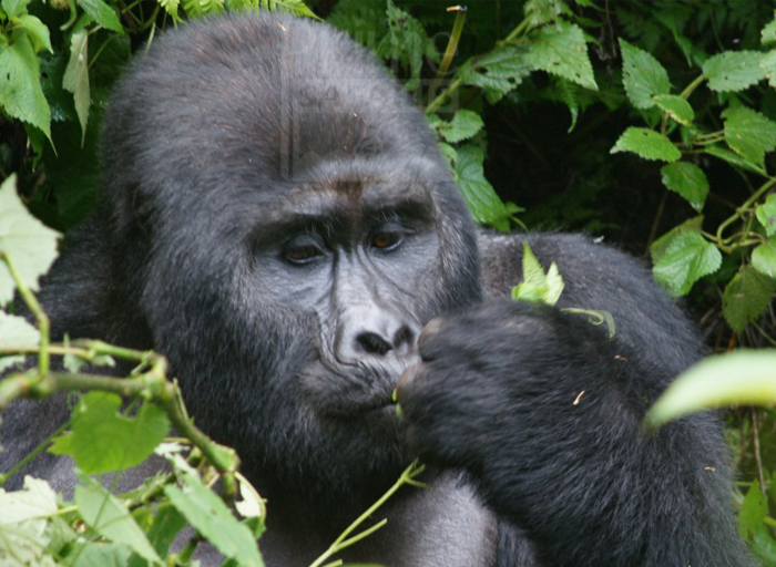 4 Days congo safari gorilla trekking